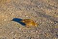 California quail (38472519901).jpg