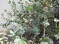 Calotropis gigantea - എരുക്ക് 05.JPG