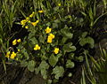 Caltha palustris whole.jpg