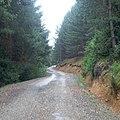Camí per una avetosa entre Pallars i l'Alt Urgell - panoramio.jpg