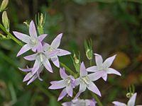 Campanulaceae - Campanula rapunculus-5.JPG