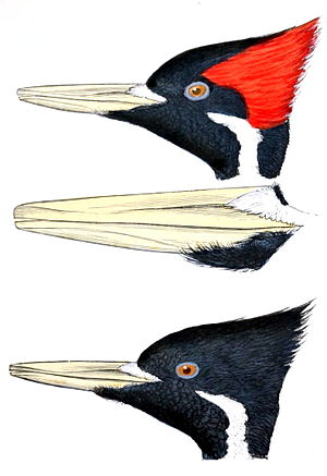 Ivory-billed woodpecker - The contrast in plumage of the male (above) and female (below)