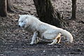 Canis lupus arctos IMG 9100.jpg