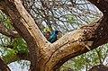Cape Starling (23890685108).jpg