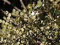 Capparis rotundifolia (6781249017).jpg