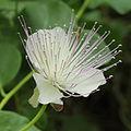 Capparis spinosa-IMG 4423.jpg