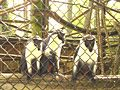 Captive diana monkeys.JPG