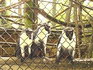 Diana monkey - Image: Captive diana monkeys