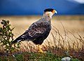Carancho (Southern crested caracara) in Tores del Paine (39516838304).jpg