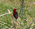 Cardinal Myzomela.JPG