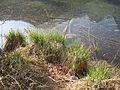 Carex elata habitat.jpg