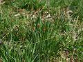Carex elata habitus.jpeg