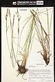 Carex elata herbarium (04).jpg