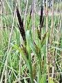 Carex riparia Wintam.jpg