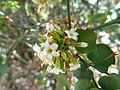 Carissa spinarum, d, Schanskop.jpg