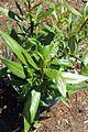 Carpenteria californica kz2.jpg