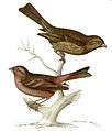Carpodacus pulcherrimus.jpg