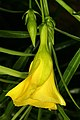 Cascabela thevetia 1DS-II 1-2478.jpg