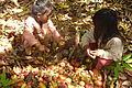 Cashew Nuts ernten mit Family Thong in Ratanakiri 16.JPG