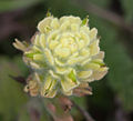 Castilleja wightii flower.jpg