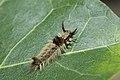 Caterpillar - Uganda 02.jpg