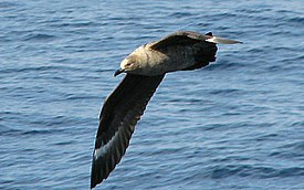 Catharacta maccormicki flight Ross Sea.jpg