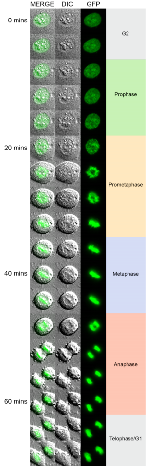 Mitotic cell rounding - Cell shape changes as a function of mitotic phase. Shown is an example of a HeLa cell cultured on a glass surface. For visualization of DNA and mitotic phase assignment, the cell expresses Histone H2B-GFP to provide fluorescent labeling of chromosomes. Transmitted light (DIC), fluorescence (GFP), and merged images are shown every 4 minutes as the cell transitions from G2 phase through mitosis to telophase/G1 phase.