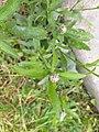 Centaurea livonica 52402221.jpg