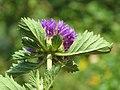 Centratherum punctatum - Brazilian Button Flower (4).jpg