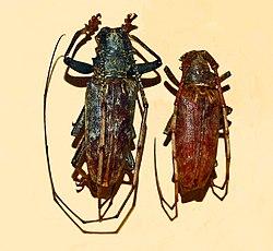 Cerambycidae - Acalolepta australis.JPG