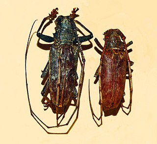<i>Acalolepta</i> Genus of beetles