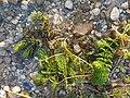 Ceratophyllum demersum s. str. sl9.jpg