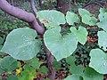 Cercis canadensis 15zz.jpg