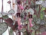 Ceropegia woodii 01.jpg