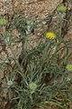 Chaenactis glabriuscula 7888.JPG