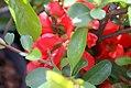Chaenomeles japonica Texas Scarlet 2zz.jpg