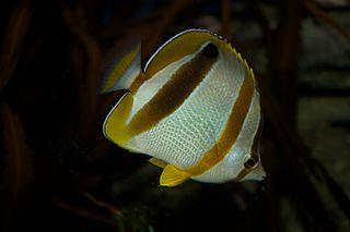 Marleys butterflyfish species of fish