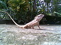 Chameleon Kerala.jpg