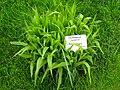 Chasmanthium latifolium - Berlin Botanical Garden - IMG 8618.JPG