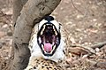 Cheetah at De Wildt Cheetah Research Centre (South Africa).jpg