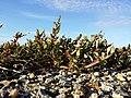 Chenopodium glaucum sl54.jpg