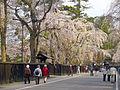 Cherry Blossom - panoramio - tsushima (2).jpg