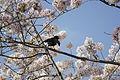 Cherry Blossom DC 2014 (13914305279).jpg