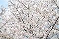 Cherry blossom near Zenpukuji river, Tokyo; March 2008 (25).jpg