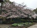 Cherry blossoms near café in Tokiwa Park.jpg