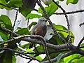Chestnut-tailed starling 04.jpg