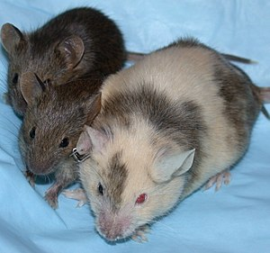 A mouse with a white coat blotched with brown is shown on the right, with two smaller brown mice to the immediate left.