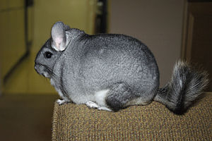 Langschwanz-Chinchilla (Chinchilla lanigera)