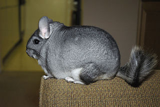 Long-tailed chinchilla Rodent species