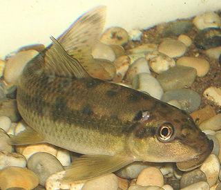 <i>Gyrinocheilus aymonieri</i> species of fish